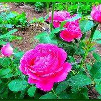 Пионовидные розы :: Юрий Владимирович