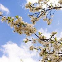 Облака... Весна... Вишня... :: Арина Зотова