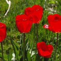 Яркие тюльпаны. :: Андрей Зайцев