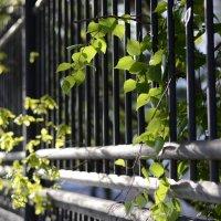 Зелень торопится, распускается... :: Ольга Нарышкина