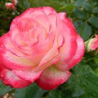 роза для Мари :: Sergey Raspopov