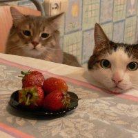 Коты и клубника :: Татьяна Черняева