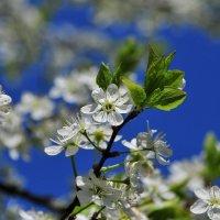 Вишня весной :: Андрей Куприянов