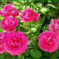 Пионовидная роза :: Юрий Владимирович