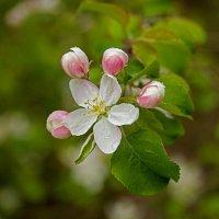 Яблоня цветёт.... :: Анатолий Круглов