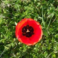 В сердце тюльпана. :: Мила