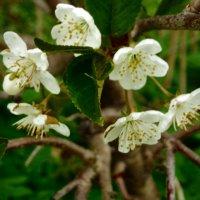 цветы вишни :: Сергей Кочнев