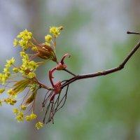 цветение клёна :: Наталья Ерёменко