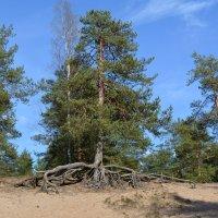 Шагающее  дерево. :: Ирина Михайловна