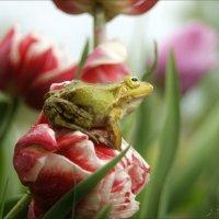 Лягушка и тюльпаны. :: Елена Kазак