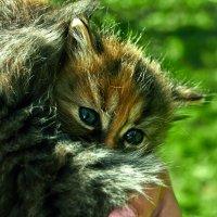 Котёнок :: Дмитрий Колесников