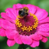 Шмель собирает пыльцу :: Мария Курицына