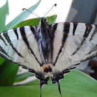 бабочка :: Юлия Закопайло
