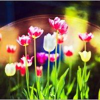 Тюльпаны :: Татьяна Губина