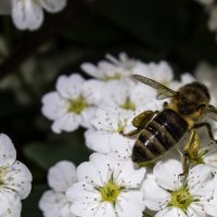 Пчёлка :: Денис Спахов