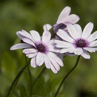 Цветы остеоспермума. :: Лилия *