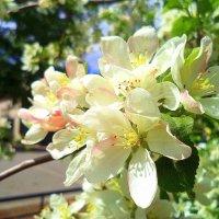 Яблоневый цвет :: Лариса Карпушина