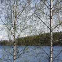 Финские березки :: Valerii Ivanov