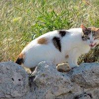 Кошка, которая гуляла сама по себе... ( кошки Херсонеса) :: Дядюшка Джо