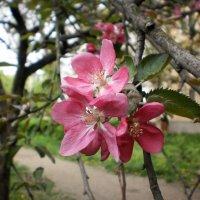 Яблонька цветёт :: Наталья Тимошенко