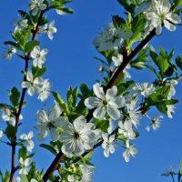 Цветущая весна :: Талик К