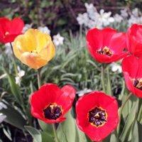 Тюльпаны - улыбка весны :: Анатолий Антонов