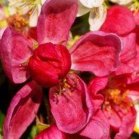 когда яблони цветут...... :: Михаил Корнев