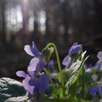 весна в лесу :: Виктория Скупова