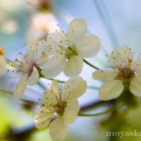 май, вишня в цвету :: Виктория Гаман