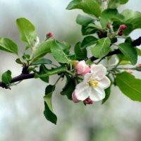 Яблоня цветет :: Дарья *******