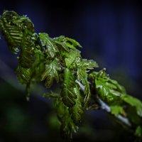 Молодые листья дуба :: Андрей Качин