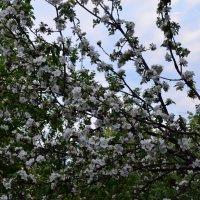 Яблоня в цвету... :: Константин Сафронов