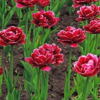 Тюльпаны :: BEk-AS 62