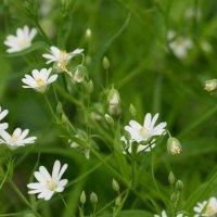 Полевые цветы :: Олег Козлов