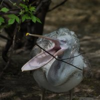 Пеликан :: Alexey Bogatkin