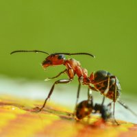 муравьи :: Наталья Рыжкова