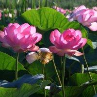 Лотос цветет :: Alexander Varykhanov
