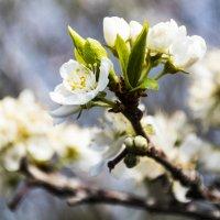 Слива цветет.. :: Светлана