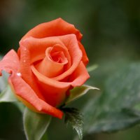 Rose... :: Uson Toktosunov