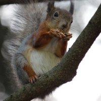 белка с орехом :: Виктория Зуева