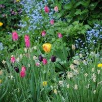 Черный тюльпан :: Виталий Житков