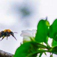 пчела и цветок яблони :: Аркадий Алямовский