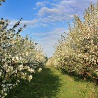 Яблони цветут :: Эркин Ташматов