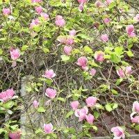 Цветение Магнолии во дворах Ужгорода :: Виталий фото