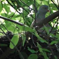 вяхирь с птенцом на гнезде :: Михаил Жуковский