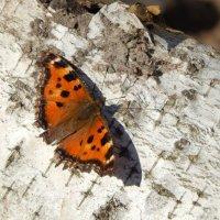 Метелик :: Катюша Лебедева