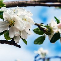 Яблони в цвету... :: Яна К