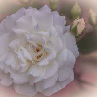 Белые розы.... :: Александр