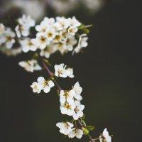 А за окном цветет весна :: Константин Онисько