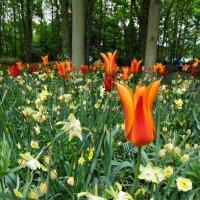 В саду цветов Кёкенхоф, Нидерланды :: svk